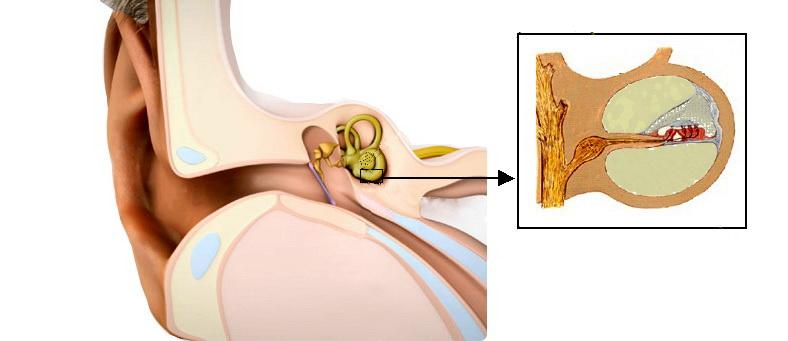 Dibujo del oído con una sección de la cóclea y el órgano de Corti