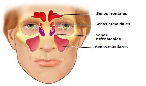 Dibujo esquemático de los senos paranasales en visión anterior.
